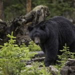 encounter with a black bear