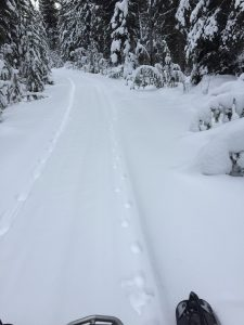 Cougar and Wolf Tracks