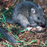 pack rat, how to get rid of pack rats, trapping rats,