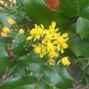 Oregon Grape Facts, Oregon Grape